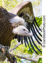 Griffon vulture (Gyps fulvus) - European Griffon vulture (...