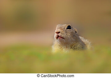 European Ground Squirrel, Spermophilus citellus, sitting in the green grass during spring
