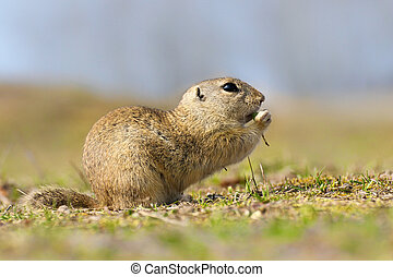 European Ground Squirrel, Spermophilus citellus, sitting in the green grass
