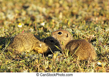 ground squirrels brothers