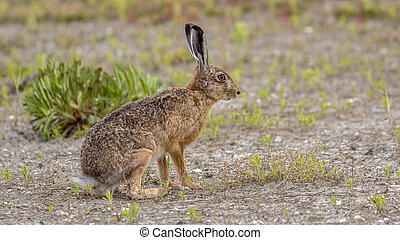 European Hare in open field