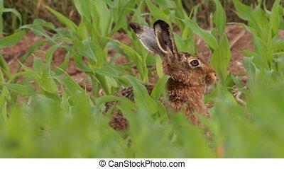european hare in springtime