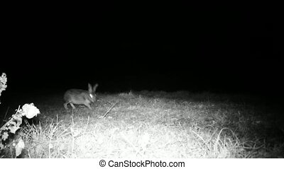 European Hare, Lepus Europaeus