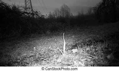 European Hare, Lepus Europaeus, in an urban grass in the night