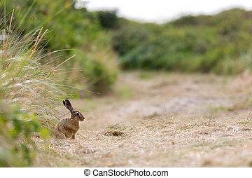 European hare (Lepus europaeus) in the dunes on Juist, East ...