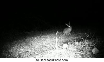 European Hare, Lepus Europaeus, Jump and smell the grass in the Night
