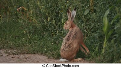 European Hare Sitting Outdoor In Summer Countryside Field Road In Belarus. The European Hare - Lepus Europaeus Or Brown Hare, Is A Species Of Hare Native To Europe And Parts Of Asia