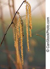 European hazel (Corylus avellana) f