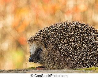 European hedgehog, Erinaceus europaeus in colorful autumn ...