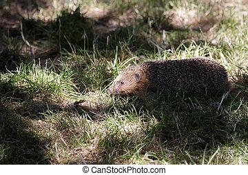 European Hedgehog (Erinaceus europaeus) in dappled light