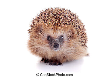 European hedgehog on white background - European hedgehog, ...