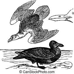 European Herring Gull or Larus argentatus vintage engraving...