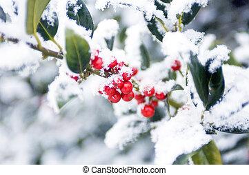 European Holly - Snow covered european holly