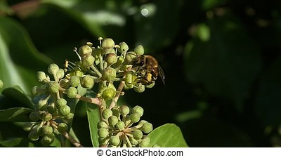 European Honey Bee, apis mellifera, Adult gathering pollen...