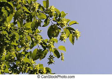 European hornbeam tree branches against blue sky - Latin ...