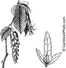 European Hornbeam or Carpinus betulus, vintage engraving. Old engraved illustration of the European Hornbeam showing flowers (left) and winged seed (right).