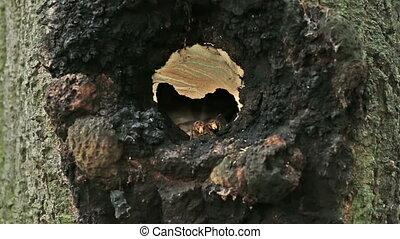European hornet (Vespa crabro) in the nest