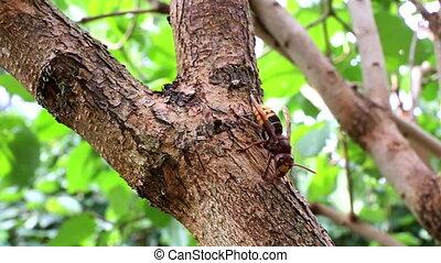 European hornet (Vespa crabro). The largest eusocial...