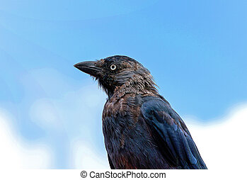 A profile portrait of a european jackdaw looking a bit ruffled, against a light blue background.