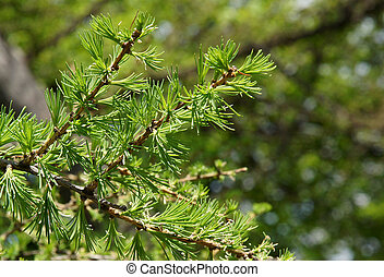 European larch in spring