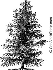 European larch (Larix Europaea) or Larix decidua, vintage ...