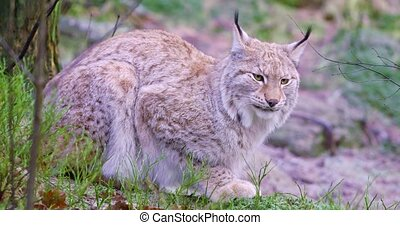 European lynx cat lies in the forest at early winter -...