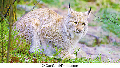 European lynx cat lies in the forest at early winter