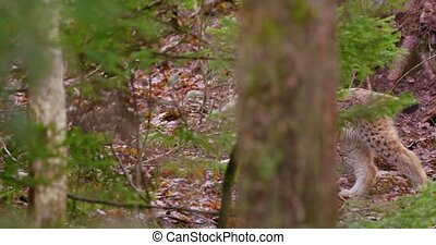 European lynx cub sneaks in the forest