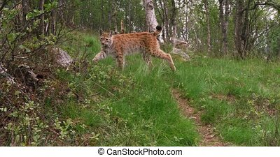 European lynx cub walking in the forest a summer evening -...