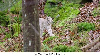 European lynx cub walking in the forest - Cute and young...