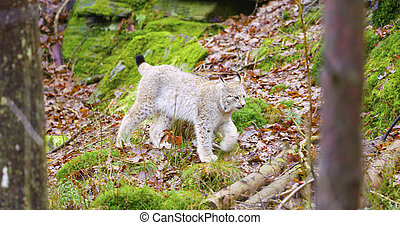 European lynx cub walking in the forest