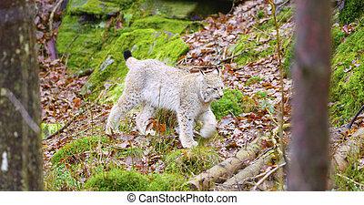 European lynx cub walking in the forest