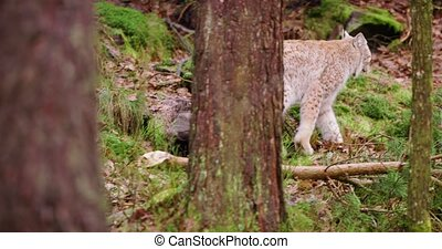 European lynx cub walking in the forest - Cute european lynx...