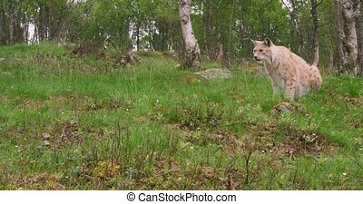 Focused european lynx cat or bobcat hunts in the forest a summer evening.