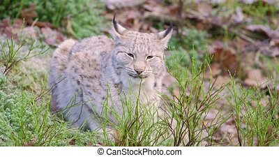 European lynx lies in the forest at late fall