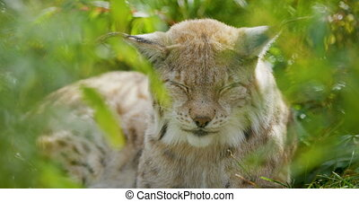 Close-up portrait of a european lynx or bobcat lying down at the forest floor in the summer. Rest and sleep in the grass.