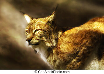 european lynx (lynx lynx) illuminated by soft sunlight