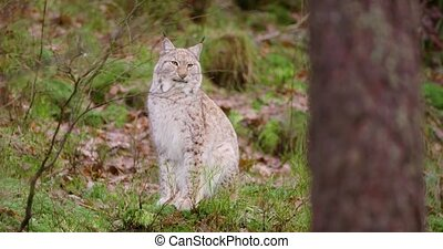 European lynx sits in the autumn forest - One european lynx...