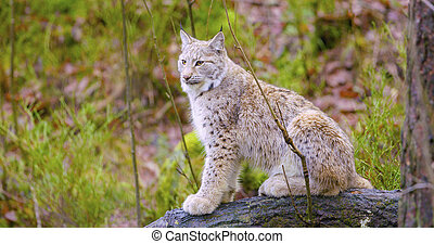 European lynx sits in the autumn forest