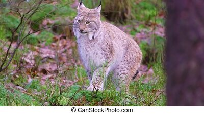 European lynx sits in the heather on the forest floor -...