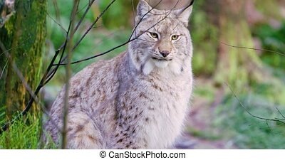 European lynx sitting and lying in the forest - Close-up...
