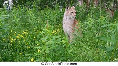 European lynx sitting in the grass - Close-up portrait of a...