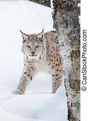 European lynx sneaking in the snow - A european lynx walking...