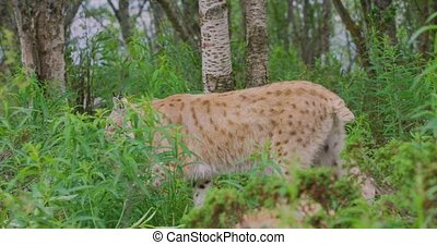 European lynx walking in the forest a summer evening -...