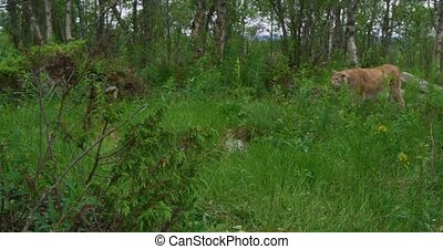 European lynx walking in the forest at a summer evening -...
