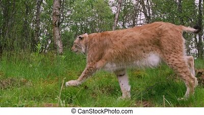 European lynx walking in the forest at summer - Camera...