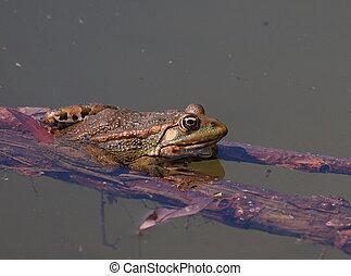 European Marsh Frog, Rana ridibunda