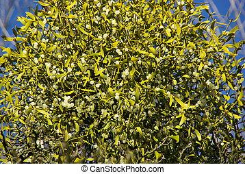 European, Mistletoe 07