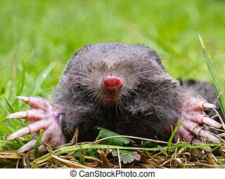 Close up of a European Mole (Talpa Europaea) in Natural Habitat