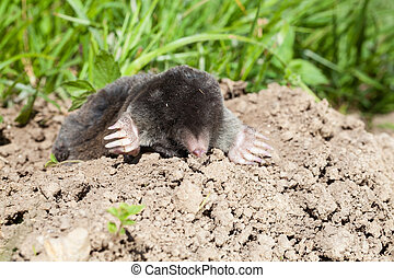 European mole, Talpa europaea, emerging from a tunnel in a ...